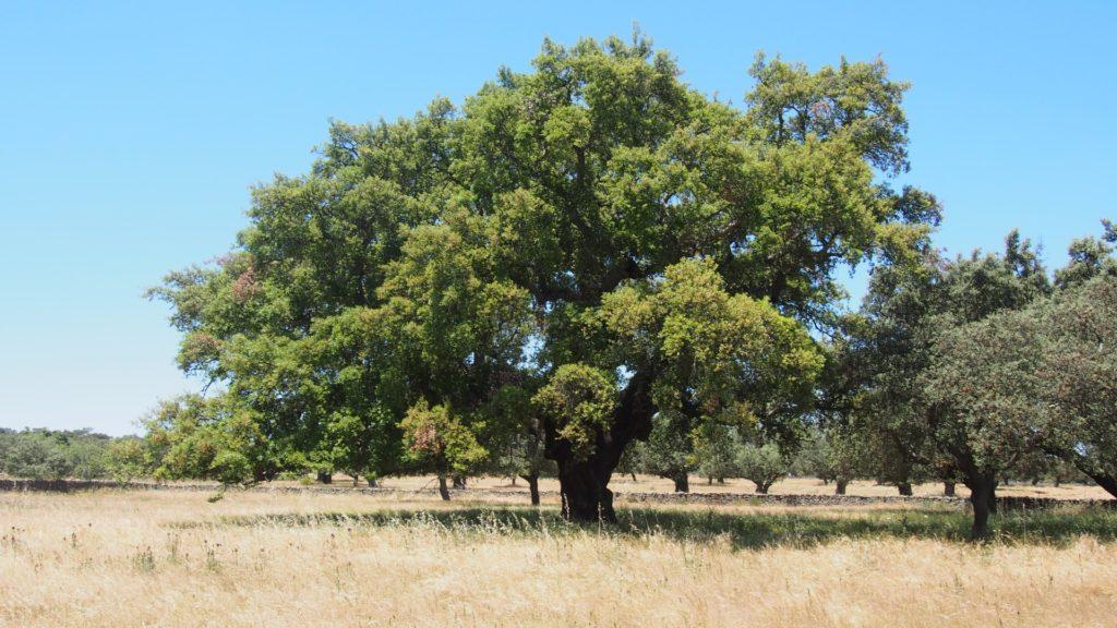 Дерево Quercus suber для пробки